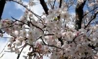 关于樱花的网名、樱花符号情侣网名、樱花网名