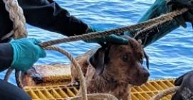 小狗海上游200多公里是怎么回事 小狗海上游200多公里是什么情况