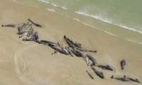 冰岛海滩现50具鲸鱼尸体是怎么回事?