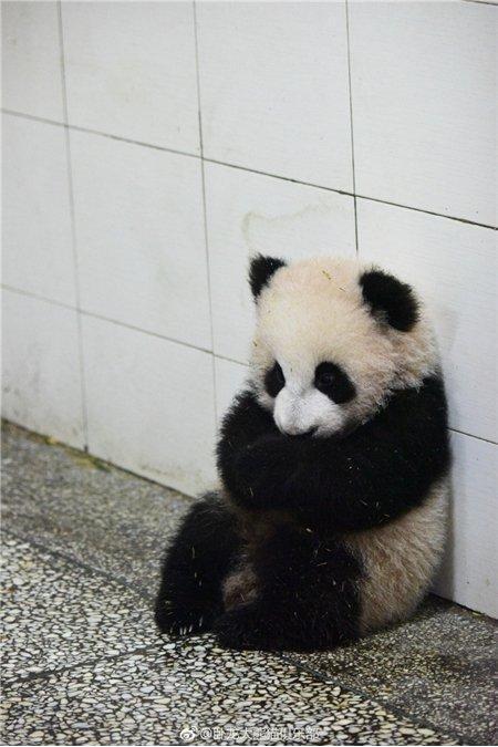 小熊猫揣手表情包高清版