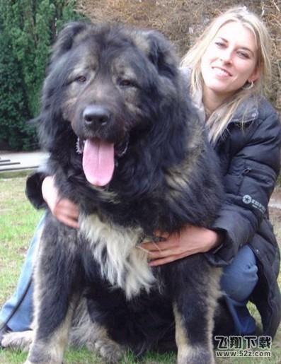 世界上最大的狗 一群世界上最大的狗 世界上体型最大的...