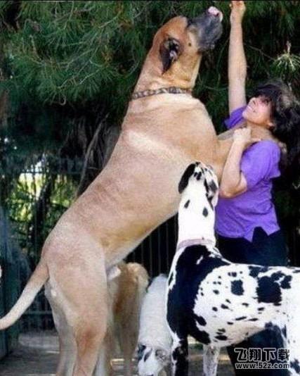 世界上最大的狗_世界上体型最大的狗_世界上最大狗_世界上最大的狗种