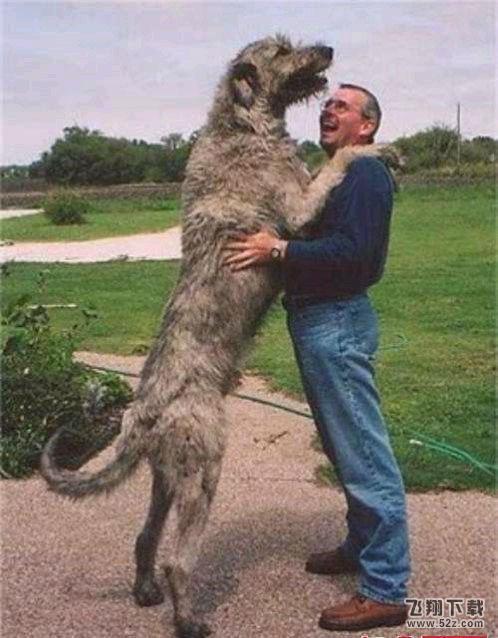 世界上最大的狗_世界上体型最大的狗(2)_飞翔教程