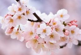 """""""家乡的樱花开了""""是什么梗 """"家乡的樱花开了""""是什么意思"""