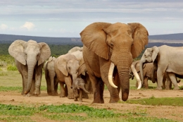 大象死于致命干旱是怎么回事 大象死于致命干旱是什么情况