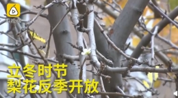 梨花也被天气搞晕了是怎么回事 梨花也被天气搞晕了是什么情况