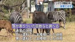 日本人把牛涂成斑马是怎么回事 日本人把牛涂成斑马是什么情况