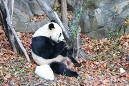 旅美大熊猫回国是怎么回事 旅美大熊猫回国是真的吗