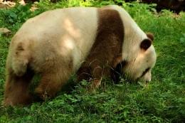 棕色大熊猫被认养是怎么回事 棕色大熊猫被认养是什么情况