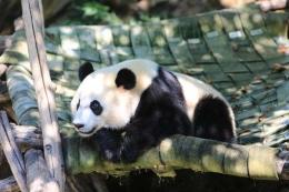 大熊猫贝贝回国是怎么回事 大熊猫贝贝回国是真的吗