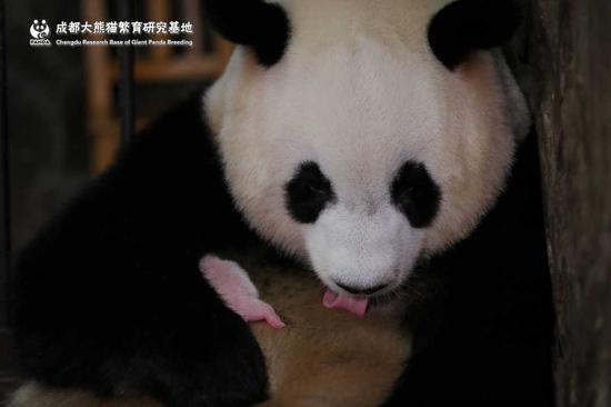 全球最小熊猫幼仔是怎么回事 全球最小熊猫幼仔是什么情况_52z.com