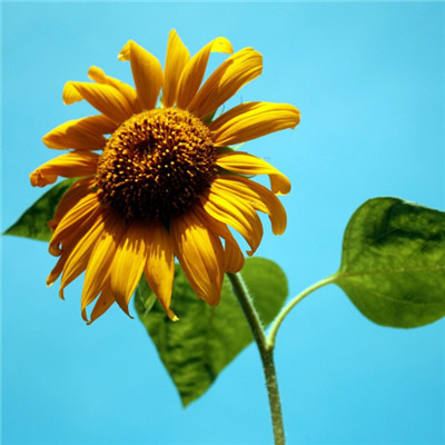 微信最吉利的好看头像向日葵 好看的微信头像向日葵图片_52z.com