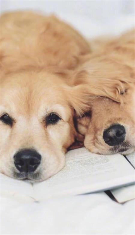 金毛可爱狗狗的壁纸高清 动物温暖治愈系手机壁纸