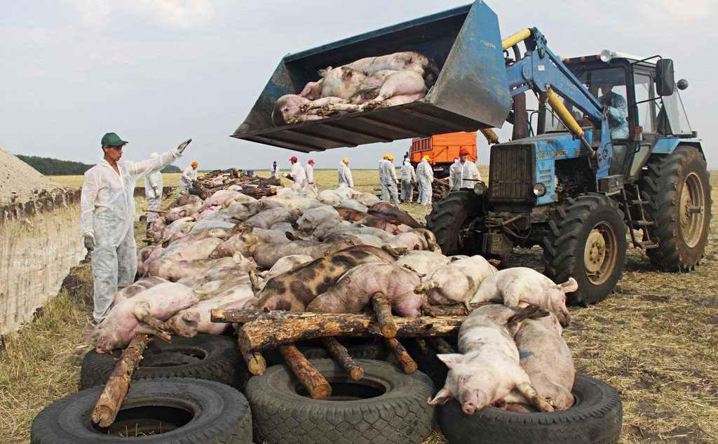 韩国首现非洲猪瘟是怎么回事 韩国首现非洲猪瘟是什么情况_52z.com