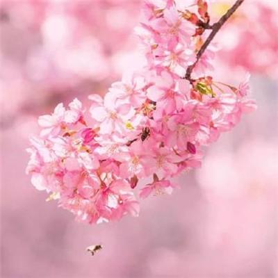 樱花图片唯美高清 浪漫好看的樱花图片2020最新